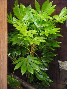 San Francisco Landscaping Plants Directory Landscaping Plants, Garden Plants, Back Gardens, Outdoor Gardens, Fatsia Japonica, Purple Plants, Meditation Garden, Plant Pictures, Cool Plants