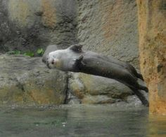 Otter is about to do a back flop - January 10, 2014