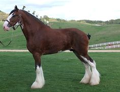 Clydesdale ♥ the only horse that I really want.