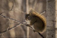 Squirrels - Elk Island - Alberta by Diego Lapetina, via 500px