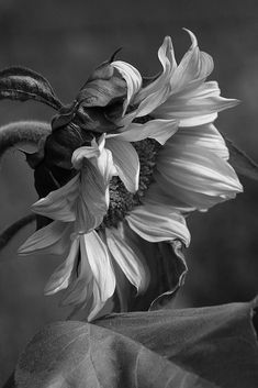 Sensuality, Beauty and Kink. A Dominants Mind. Black Is Beautiful, Beautiful Flowers, Sunflower Black And White, Foto Still, Black And White Aesthetic, Black And White Pictures, Flower Photos, Belle Photo, Black And White Photography