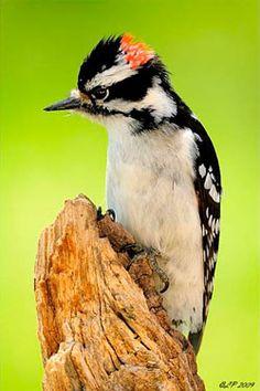 jackhammer, Downy Woodpecker -