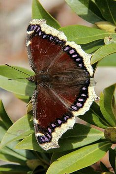 Mourning Cloak Butterfly سبحان الله