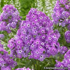 Tall clusters of wonderfully fragrant Phlox, purple blooms add height, color and immediate joy to the summer garden. Goliath is extremely easy to grow; this garden favorite is both deer and mildew resistant. We recommend giving Phlox as much sun as possible and it will quickly become one of your favorite perennials. Try planting on its own or with other summer-blooming perennials, including Lilies and Hydrangea.