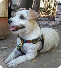 West Los Angeles, CA - Miniature Schnauzer/Jack Russell Terrier Mix. Meet Jonah-Likes cats!, a dog for adoption. http://www.adoptapet.com/pet/16277849-west-los-angeles-california-miniature-schnauzer-mix