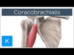Semitendinosus - Anatomy - Orthobullets.com | Anatomy ... - photo#40