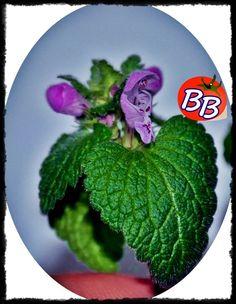 Bu da başka bir kır çiçeği... Aslında hep görürüz. Ama makro çekimle baktığımızda ... aaa ne de güzelmiş deriz...