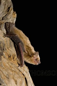 Little Broad-nosed Bat, Scotorepens greyi, Australia