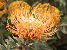 Pincushion on a hillside Pin Cushions, Cape, Flora, Plants, Mantle, Cabo, Plant, Coats, Planets