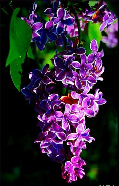~~Lilac in the morning light | Lilac 'Sensation'  by Lida Rose~~