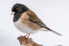 Winter Bird Photo Gallery - Birds in Winter Bird Types, Oregon, Bird House Kits, Bird Aviary, State Birds, Brown Bird, How To Attract Birds, Backyard Birds, Bird Drawings