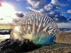 Portuguese Man-of-War jelly Fish it's a beautiful sea creature but dangerous and poisonous!