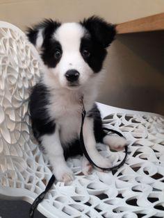 My border collie puppy Mali #BorderCollie