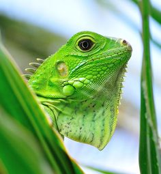 I love my bearded dragon, but would love an Iguana too... Lizard Love <3 <3 <3