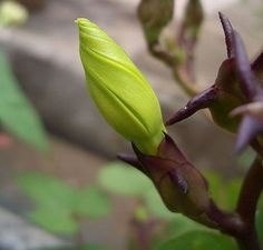 How to Grow Moonflower, and other Calonyction Plants. Moonflowers have trumpet like flowers and bloom at night in the summer. Partial Shade Plants, Sun Loving Plants, Moonflower, Climbing Vines, Hardy Perennials, Types Of Soil, Life Cycles, Tropical Plants, Climbers