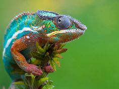 United Colors of Chameleon
