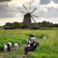 The Dutch Landrace goats keep the Twiske Mill running | Flickr - Ben the Man