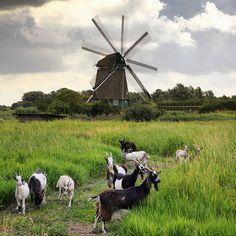 The Dutch Landrace goats keep the Twiske Mill running   Flickr - Photo Sharing!