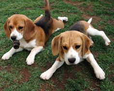 American Foxhound Puppies.. I miss my dog being this little ^_^. One of the best breed of dogs I have ever owned!