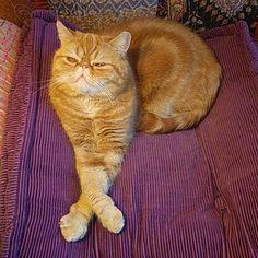 3rd position mastered. Punky's plie is also on fleek.  #exoticshorthair #cat #cute #flatface #meow #mreggs #catlover #exoticsofinstagram #smushface  #ballet