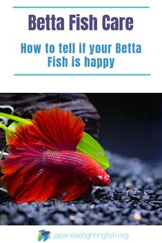 While trying to figure out a Betta's emotional status may sound like a taxing time, happy fish behavior is simple to figure out. Bettas have quite a few signs of their emotional state. Keep on reading to for the key signs you will need to look out for to tell if your betta fish is happy. #bettafishcare #keepingfish