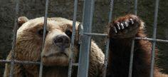 Save the saddest bears