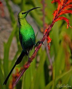 Malachite Sunbird by rachelpp