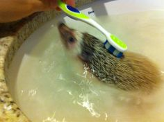 Squeaky clean hedgie!