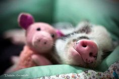 Baby pig with stuffy pig:)