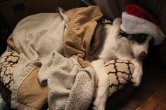 Sleepy Santa Dog Red Tri Australian Shepherd, Boston Terrier, Santa, Dogs, Animals, Aussie Shepherd, Boston Terriers, Animales, Animaux