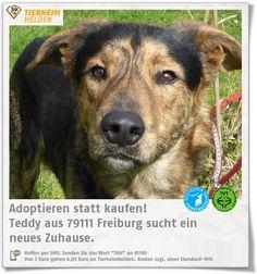 Schüchternes Hundebündel Teddy aus dem Tierheim Freiburg sucht geduldige Familie.  http://www.tierheimhelden.de/hund/tierheim-freiburg/schaefermix/teddy/9932-0/  Teddy hat noch nicht viel Vertrauen zum Menschen und braucht eine Weile, bis er dieses aufgebaut hat. Es ist daher schwierig über seinen Grundgehorsam zu urteilen, da er vermutlich nach einer Eingewöhnungsphase s
