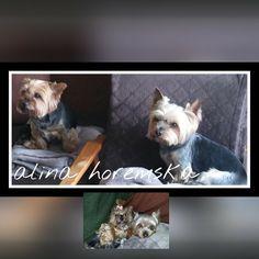 Yorki Layla i Ronnie moje ukochane zwierzaki