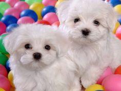 The Designer Dog Breeds Quiz http://ift.tt/1ojktj2  #Animals Cute Dogs Funny Pet