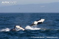 Orcas in the Wild | Orca photo - Orcinus orca - A19569 | ARKive