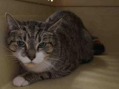 CECIL - A1064550 - - Brooklyn Please Share: ***TO BE DESTROYED 02/10/16*** This CECIL is no lion, but this one is alive and needs rescue asap! Cecil is a 1 year old kitten and she is afraid at being caged like a wild animal in the shelter. She is PERFECTLY HEALTHY and rated EXPNOCHILD for her fear. She was hissing at the assessor but did accept some petting on her head. She will need a experienced home where she will get love and understanding and time to decompress
