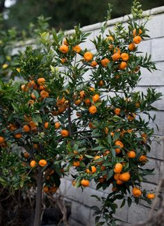 The Truth About Indoor Citrus Trees (Hint: They Belong Outdoors) | Remodelista