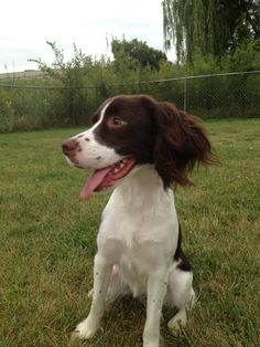 Penny. English Springer Spaniel