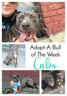 Adopt-A-Bull of The Week – Cuba in New York | http://www.thelazypitbull.com/adopt-a-bull-cuba-new-york/