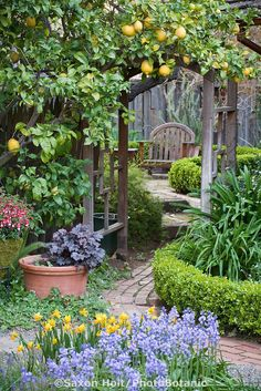 Lemon tree growing on arbor trellis, brick pathway. Love the idea of mixing fruit trees with flowers.