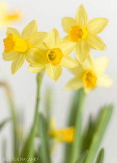 beautiful sunshine yellow daffs lynda naranjo | simple things: Spring pastels