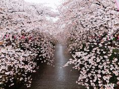 The Japanese cherry blossom, known as the Sakura in Japanese. Here are 21 of The Most Beautiful Japanese Cherry Blossom. This is the easiest way to see the Japanese Cherry Blossoms unless you're lucky enough to live in Japan.