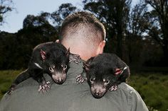 The largest shipment of disease-free Tasmanian devils were released back into the bush of Tasmania Nov. 19 in an effort to save the carnivorous marsupials from succumbing to extinction. An infectious cancer has devastated the Australian island of Tasmania's population of devils, which has declined …