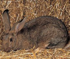 Flemish Giant rabbit. How to choose the rabbit breed that's right for you.
