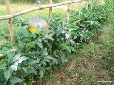 Garden, Herbs, Plants