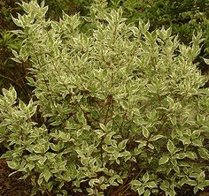 Dogwood-Ivory Halo Utah-based landscape company with great perennial shrub resource on its site Bushes And Shrubs, Garden Shrubs, Driveway Landscaping, Landscaping Company, Outdoor Plants, Outdoor Gardens, Outdoor Decor, Side Garden, My Secret Garden
