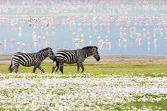 Tanzania: Zebras and flamingo in the Ngorongoro crater after rains. Must visit Tanzania during The Migration in June- August when massive movement of wildebeest, zebra and accompanying predators move from the Serengeti to the sweet red-oat grasslands of Kenya's Mara plains.