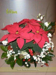 Craciunita cm inaltime), ornata cu hipericum rosu, crizanteme albe,r uscus Olanda Plant