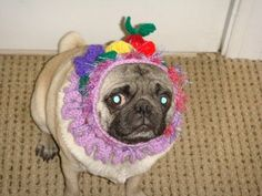 How do pugs always manage to look so miserable?