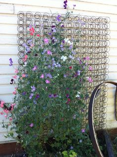 Old bed spring used as a trellis for sweet peas