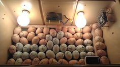 A few other links to check out for incubating and Care of little ones! Hatching 101 ~ Guide to. Diy Incubator, Chicken Incubator, Homemade Cooler, Hatching Chickens, Small Room Design, Wall Lights, Ceiling Lights, Chicken Breeds, Chicken Eggs
